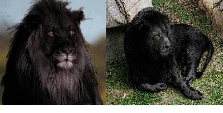 Pure Beauty Rare Albino Lion Black Lion Animals Beautiful Lion