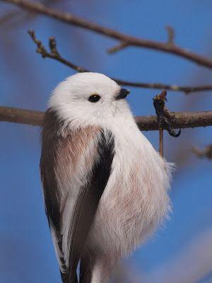 ジュルジュルジュルという鳴き声が複数で聞こえてくると 大抵はこのエナガです この日も声の出何処を辿って シマエナガの群れを見つけることが出来ました ポキンと折れそうな細い足も 小さな目と 小さなくちばしも 細くて長 い尾羽も まぁ るい体つきや