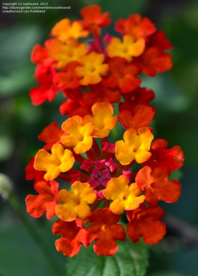 Plantfiles Pictures Lantana Dallas Red Lantana Camara By Sunkissed Lantana Yellow Flowering Plants Flowering Bushes