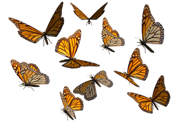 Hi All Thanks For Checking Out My Fun And Free Stock Images Nbsp I Look Forward To Seeing What You Can Come Up With Butterfly Clip Art Fly Drawing Photoshop
