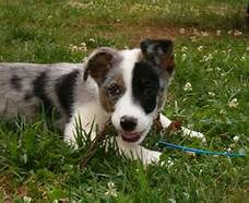 Border Collie Australian Shepherd Mix Dog Cat Dogs Aussie Puppies