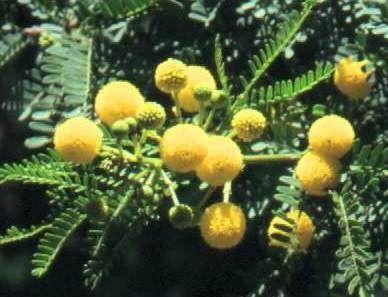 Flowers Of Acacia Karroo Soetdoring Sweet Thorn Tropical Africa Bird Garden Seed Dispersal