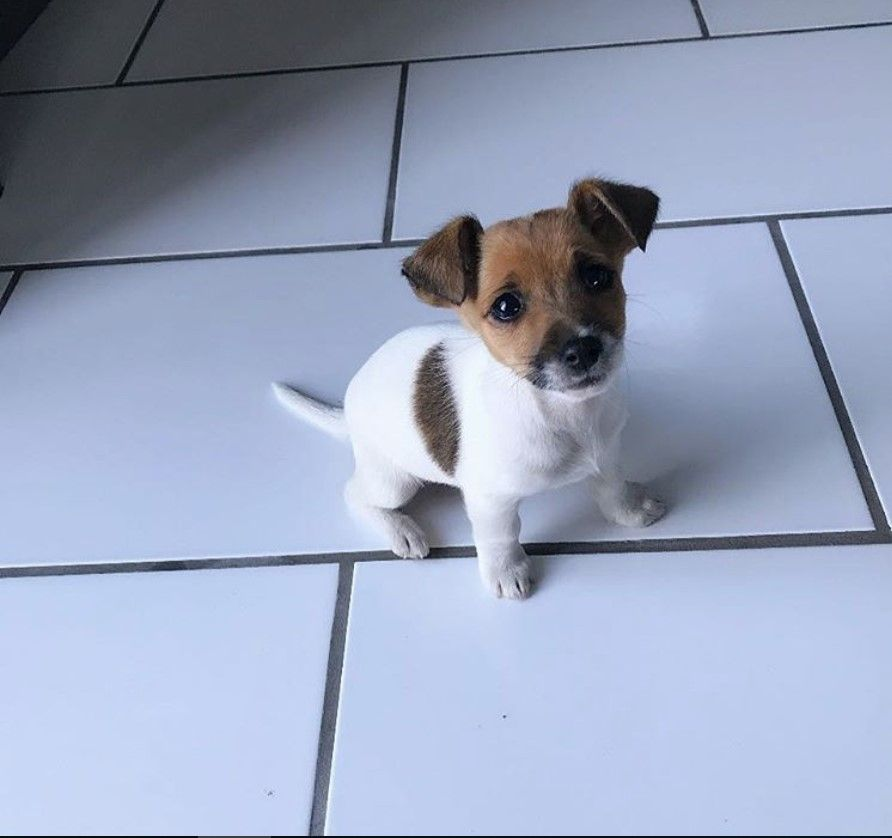 Short Legged Jack Russell Pup Jack Russell Jack Russell Terrier Jack Russell Terrier Puppies
