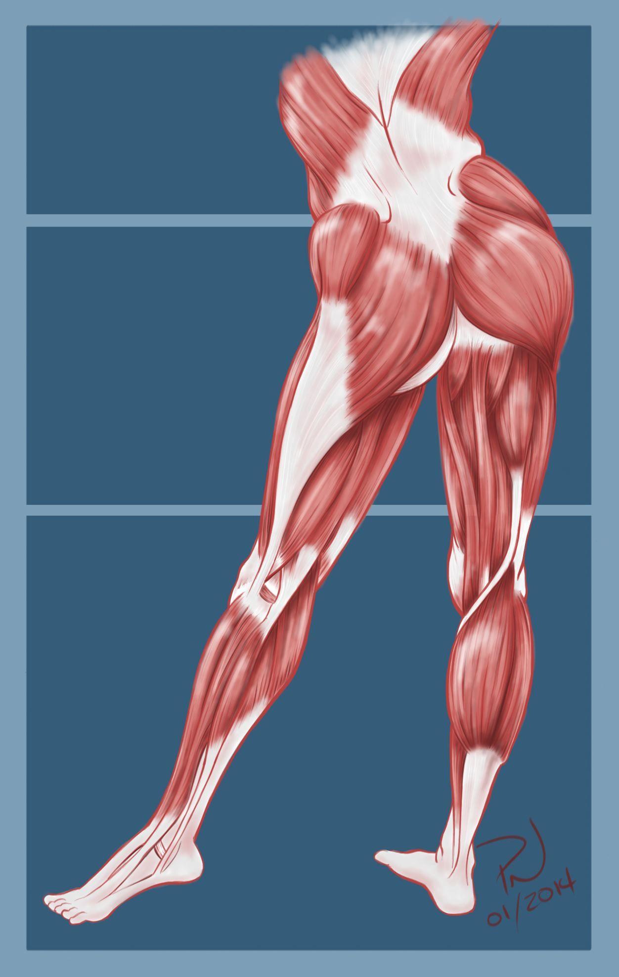 Hip, Butt, Legs muscle anatomy. Paul Neale | Anatomy: Pelvis ...