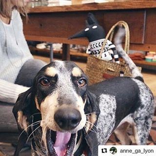 Des nouvelles de IMBA d'An Naoned  Femelle Basset bleu de Gascogne née le 05/06/13 (Capri d'An Naoned x Gavroche des Plaines de la Mare Jouenne)  www.mathuvu.fr  #mathuvu #mascotte #conceptstore #lyon #basset #bassetbleudegascogne #bbg #bassetoftheday #dog #pet #hund #cani #cute #cutedog #bluebasset #doglove #amourdechien #imba #doglovers #dogmasternews #dogpics #petpics #lifestyle