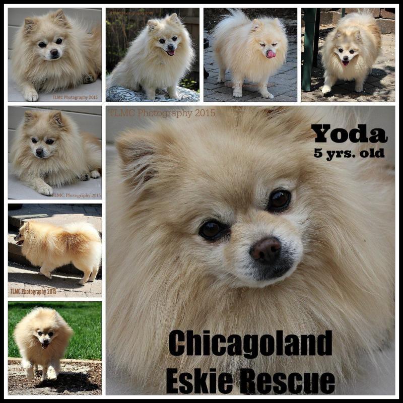 Adopt Yoda On American Eskimo Dog Pomeranian Dog Pomeranian For Adoption