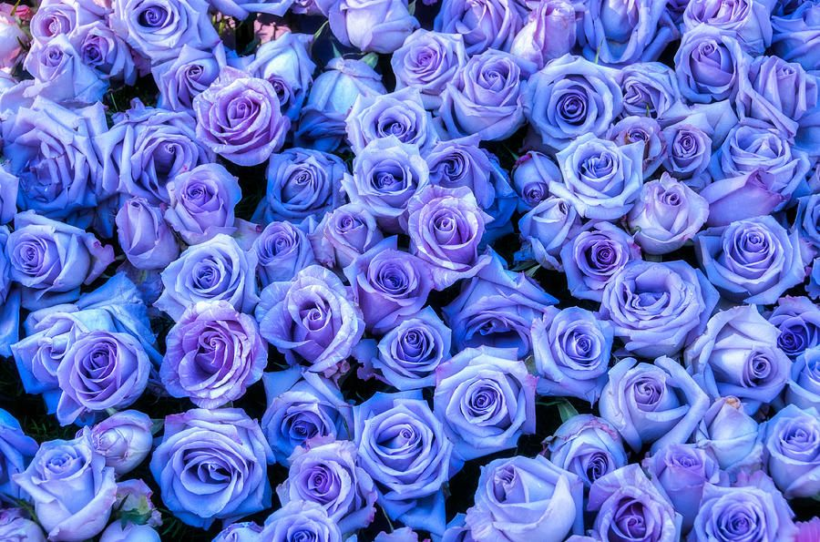 Purple Roses Background By Connie Cooper Edwards Purple Roses Wallpaper Purple Roses Tumblr Flower
