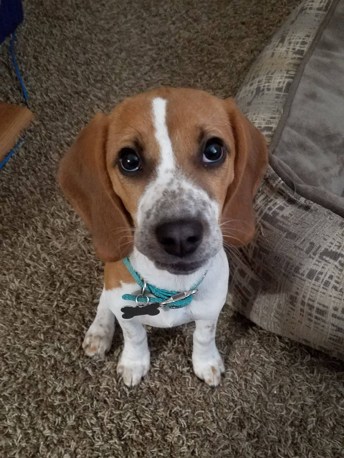 how much water to give a beagle puppy