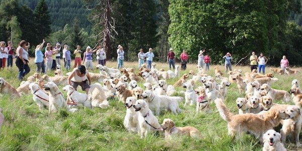 Puppies Galore The Annual Golden Retriever Festival In Scotland Will Melt Your Heart Dogs Golden Retriever Golden Retriever Retriever