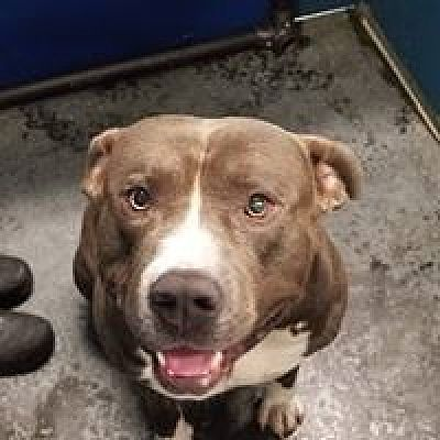 Henderson Nc Pit Bull Terrier Meet Copper A Dog For Adoption