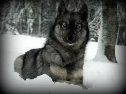 Agouti Siberian Husky So Stinkin Beautiful With Images