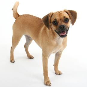 Puggle The Cutest Dog On The Planet Dogs Dogs Dog Breeds
