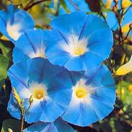 Name Heavenly Blue Morning Gloryscientific Name Imopea Tricolorcolor Sky Blue With White Yell Blue Morning Glory Morning Glory Flowers Morning Glory Seeds