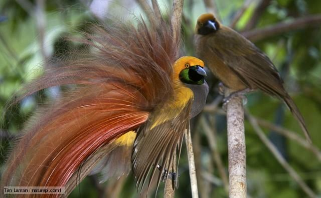 Female Bird of Paradise | Male goldie's bird of paradise
