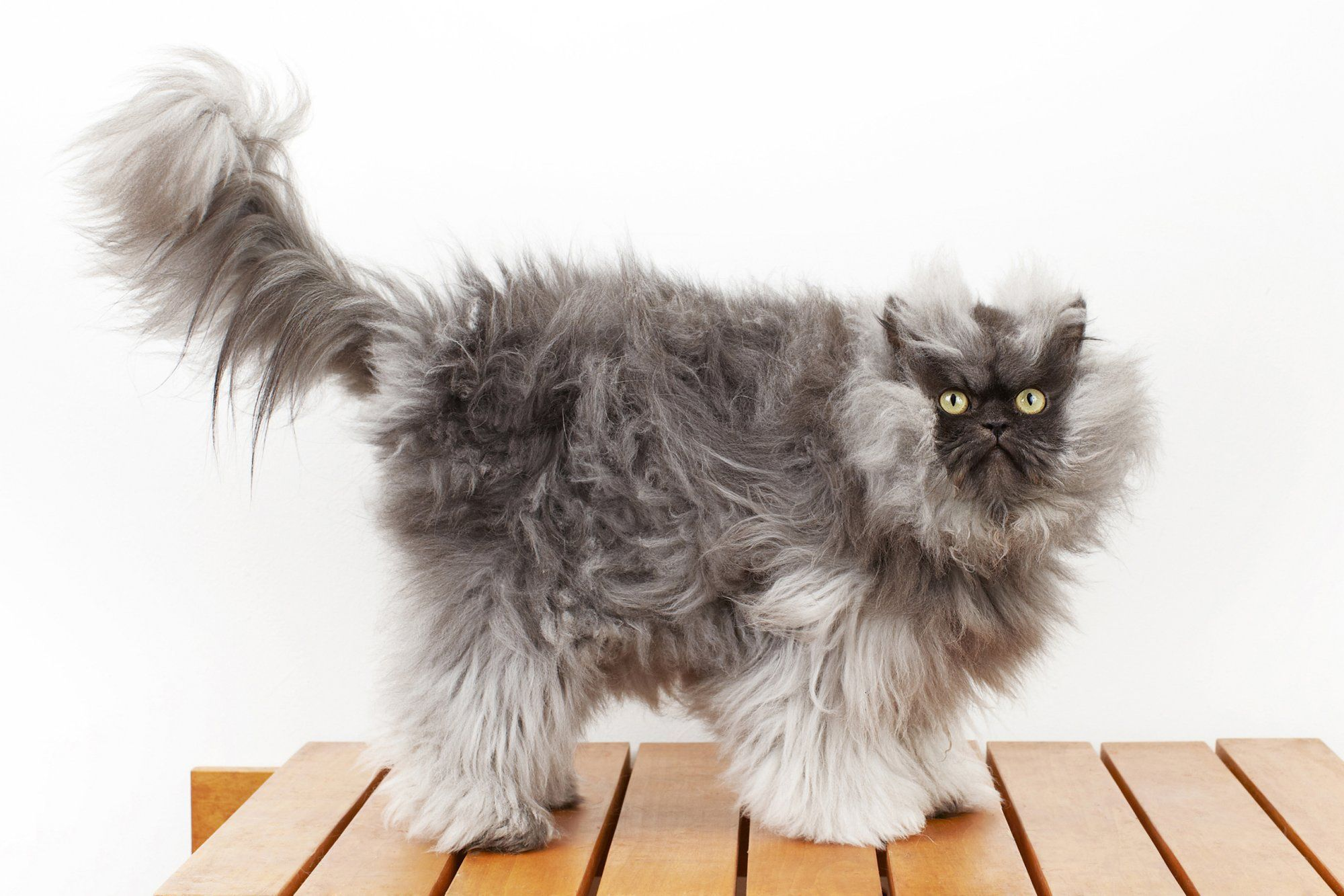 World S Smallest Cat Google Search Animals And Pets Cats Pets