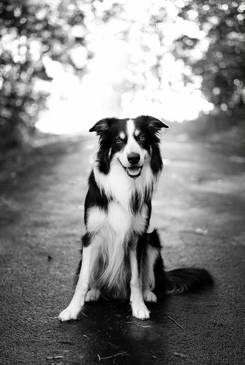 A Beautiful Border Collie In The Lane Photo By Henning Nilson