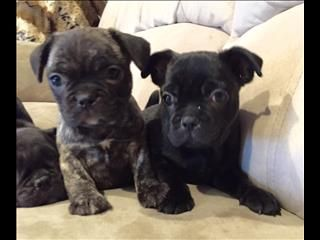 French bulldog cross pug puppies NSW | puppies! | Pug