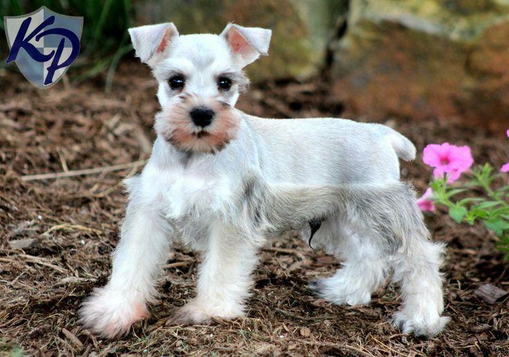 Schnauzer Puppies Romeo Schnauzer Mini Puppies For Sale In Pa Keystone Puppies Puppies Schnauzer Puppy Puppy Finder