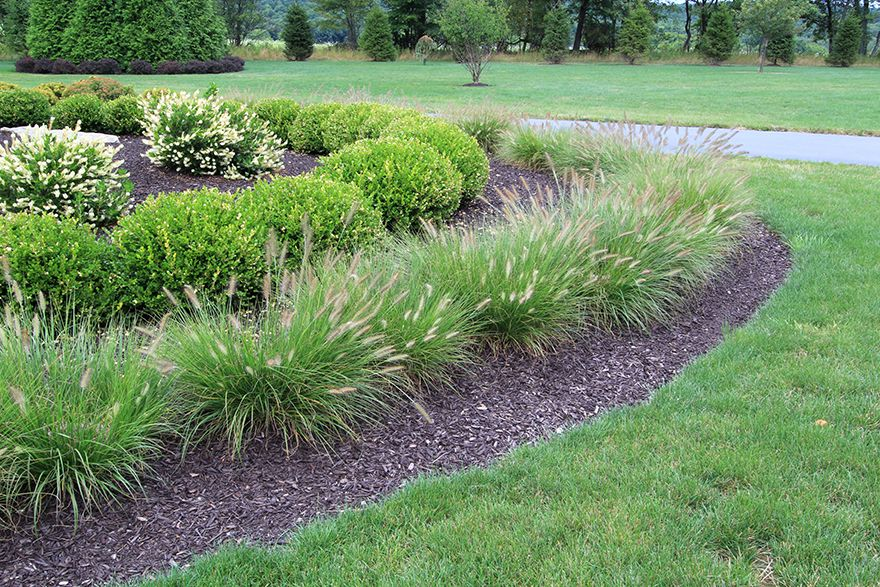 Pennisetum 'Hameln' - Dwarf Fountain Grass | Landscape ...