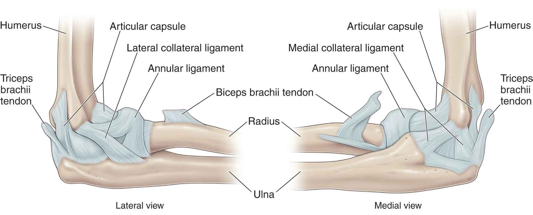 elbow joint ligaments - Google Search   Biceps brachii ...