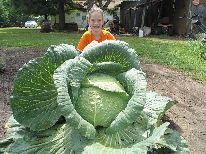 Arkansas emily cabbage plant giant vegetable veggie