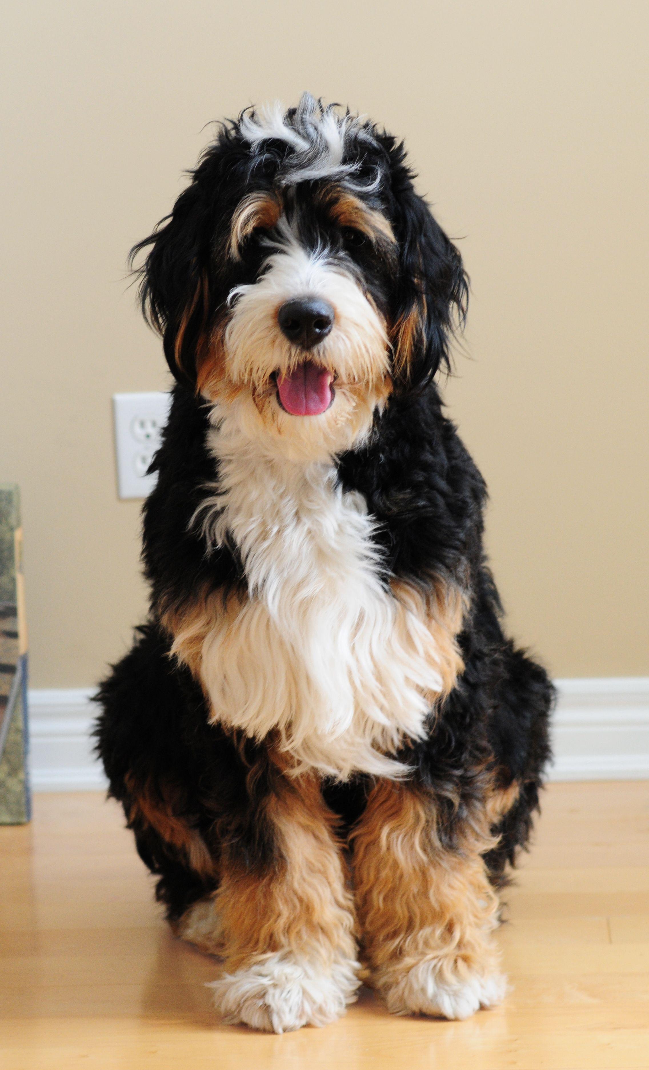 1 year old standard Bernedoodle Dogs Pinterest Dog