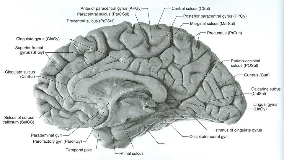 Note Marginal Ramus Branch Of Cingulate Sulcus Anatomy