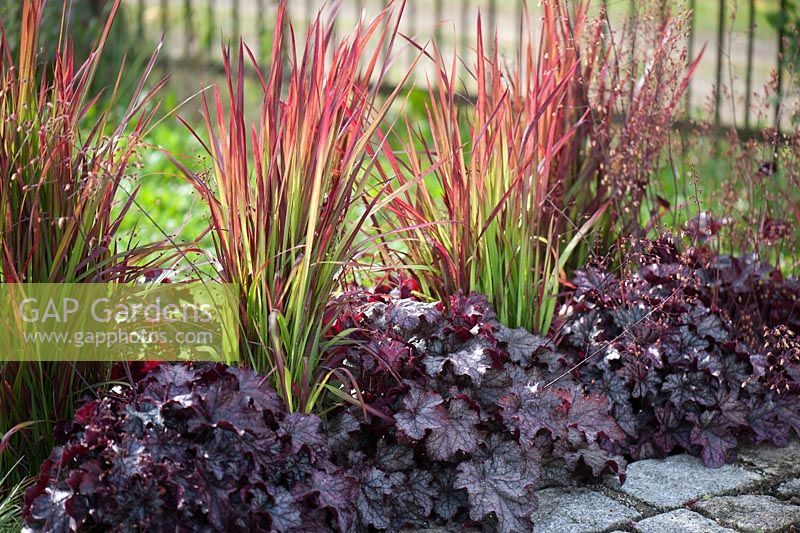 imperata cylindrica 39 red baron 39 and heuchera our yard symetry pinterest plante exterieur. Black Bedroom Furniture Sets. Home Design Ideas