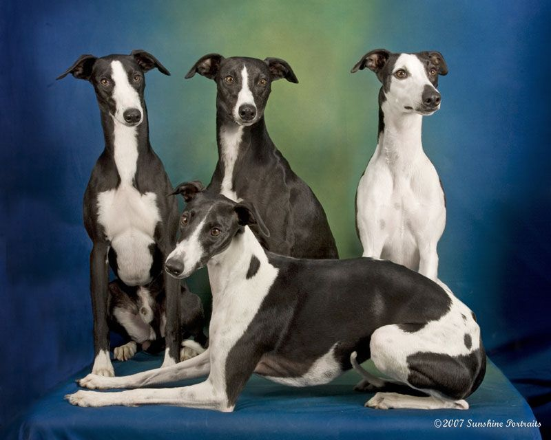 Whippet Puppies For Sale Near Me In Minnesota