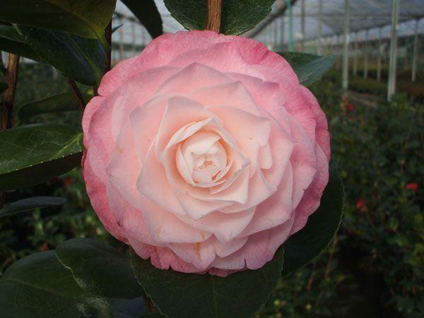 Camellia Japonica Desire Camellia Looks