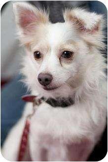 Cute Papillon Chihuahua Mix Hybrid Dogs Papillon Dog Chihuahua Mix