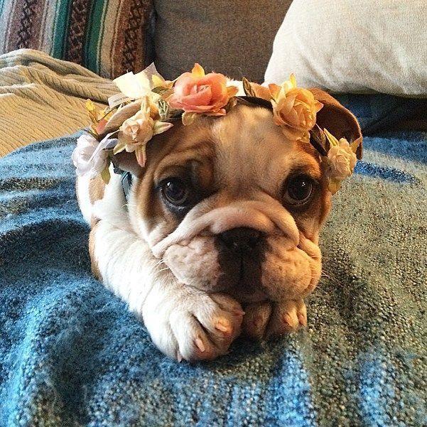 Precious Little Flower Girl Cute Bulldog Puppies Baby Animals