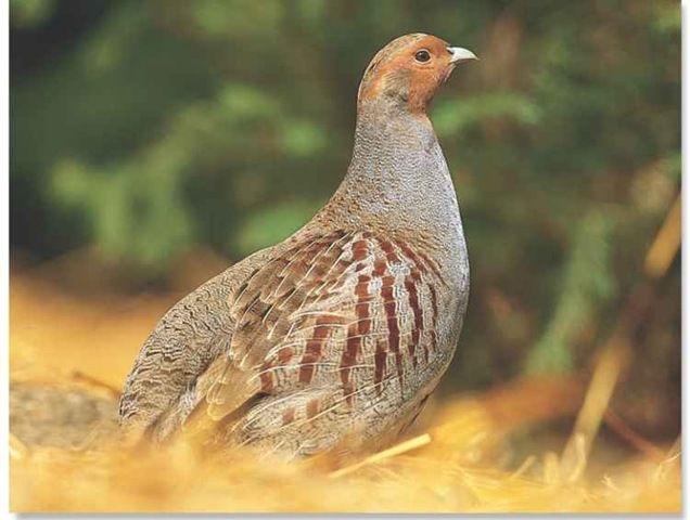 Best Gray Partridge Grey Partridge Partridge Partridge Bird 640 x 480
