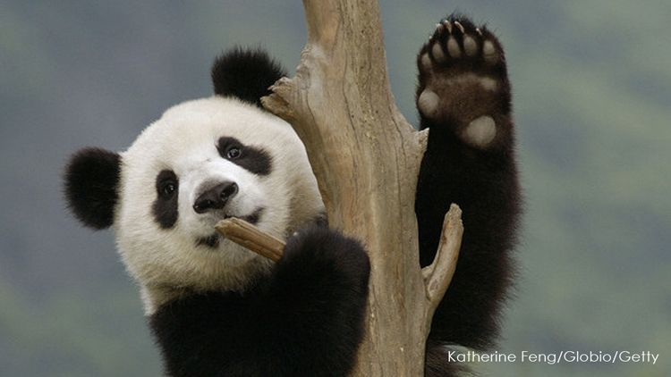 Did you know pandas have thumbs much like those of humans? The front paws  of a Giant Panda are distinctly different from other bears