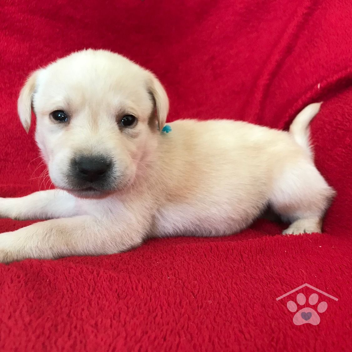 Meet Flash! He is an active purebred male Labrador