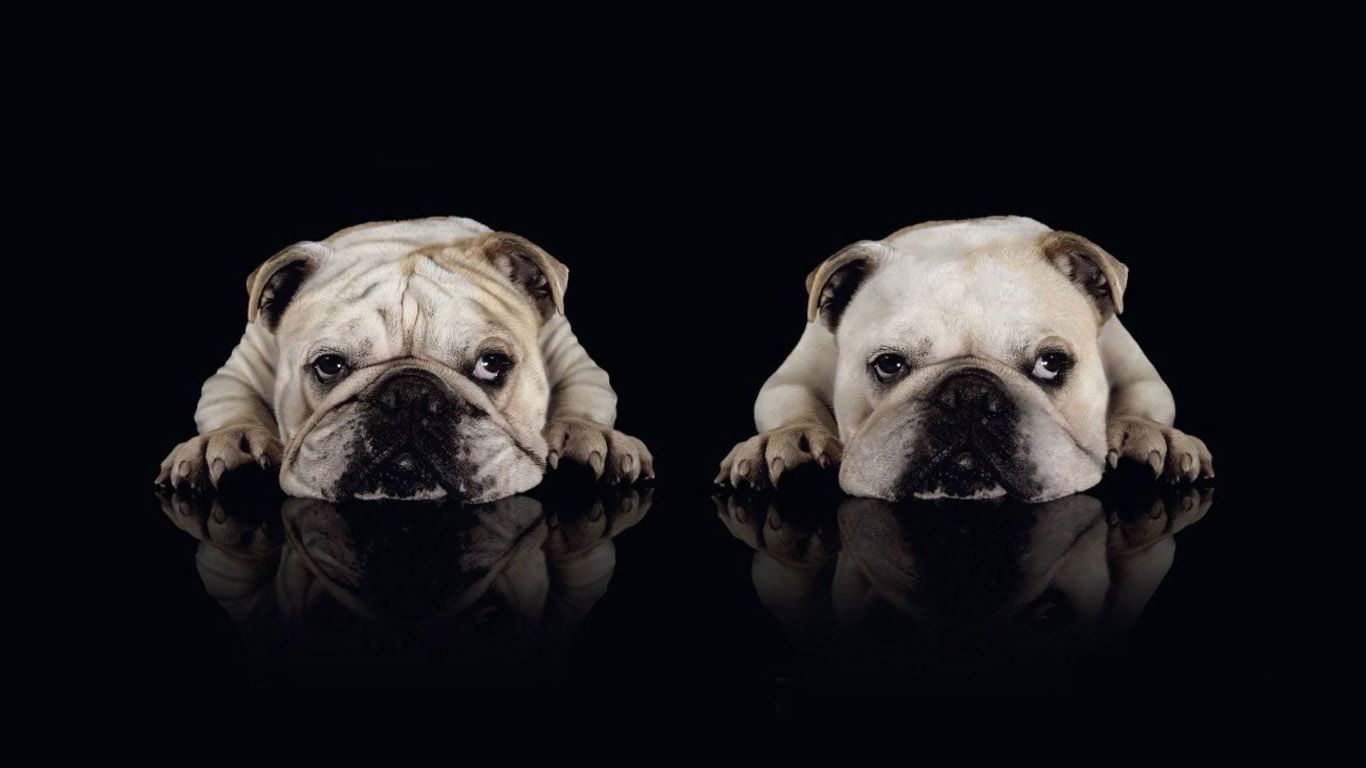The Bulldog Is A Medium Sized Breed Of Dog Commonly Referred