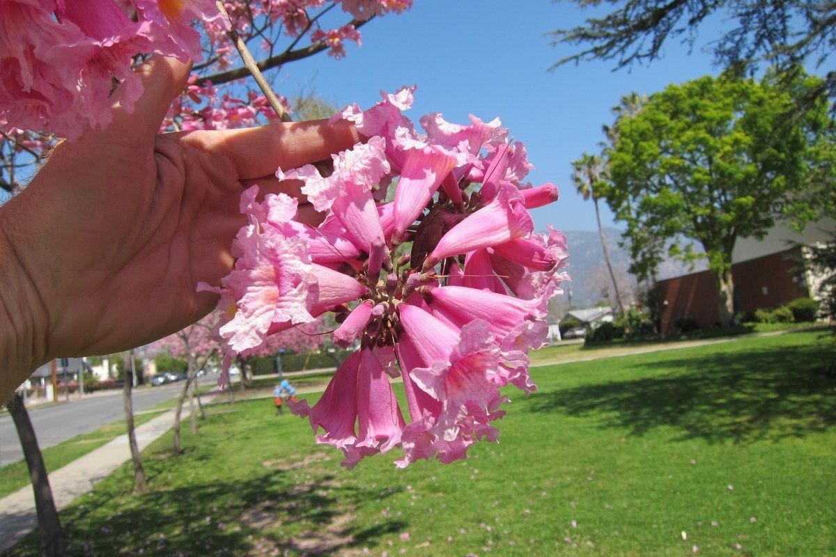 Tabebuia impetiginosa pink trumpet tree flower cluster flowers tabebuia impetiginosa pink trumpet tree flower cluster mightylinksfo