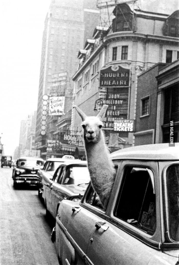 Photo of A Llama, in a cab, in New York City, in 1957.