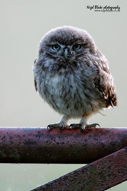 Little owl (Athene noctua) | Little Owl, Athene noctua, juvenile. | Flickr - Photo Sharing!