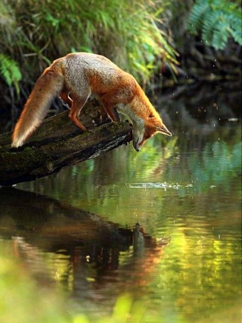 red fox watching his own reflection
