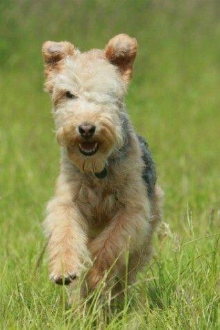 english dog breeds lakeland terrier   Lakeland terrier ...