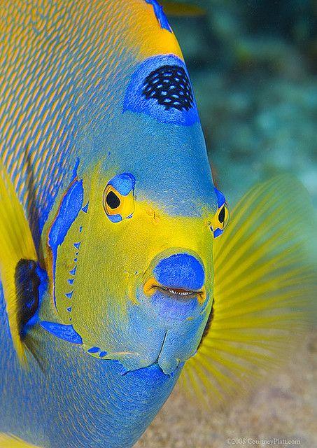 Queen Angel Fish Flickr Photo Sharing Beautiful Sea Creatures Ocean Creatures Sea Creatures