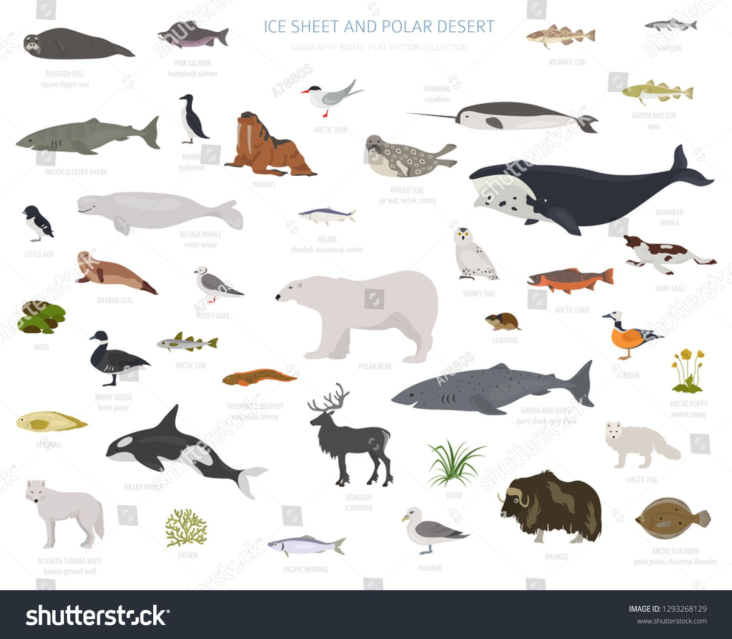Ice Sheet And Polar Desert Biome Terrestrial Ecosystem World Map Arctic Animals Birds Fish And Plants Infographic Des In 2020 Arctic Animals Animals Images Animals