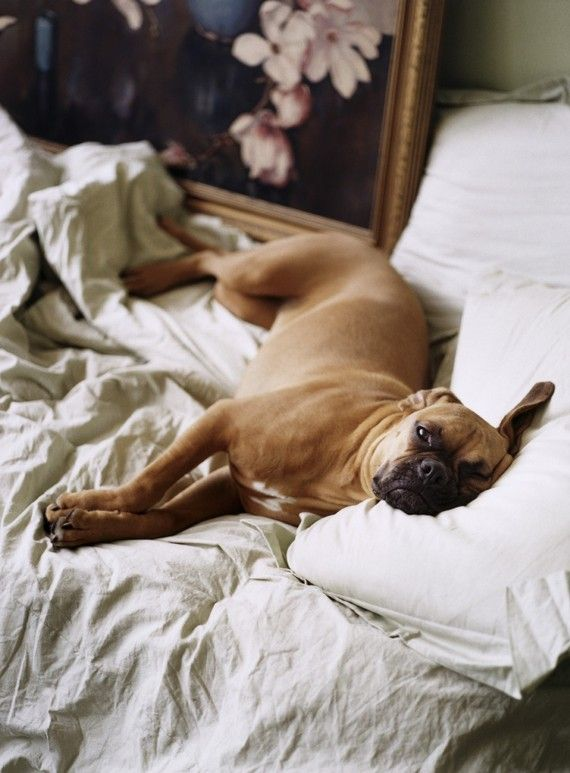 boxer lounging in bed