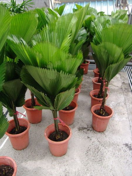 Licuala spinosa.   We are professional supplier. Trust depends on specialty. If you like them, please feel free to contact me. Email: sale@gdspeedling.com Mob & Whatsapp: +86 13600022661