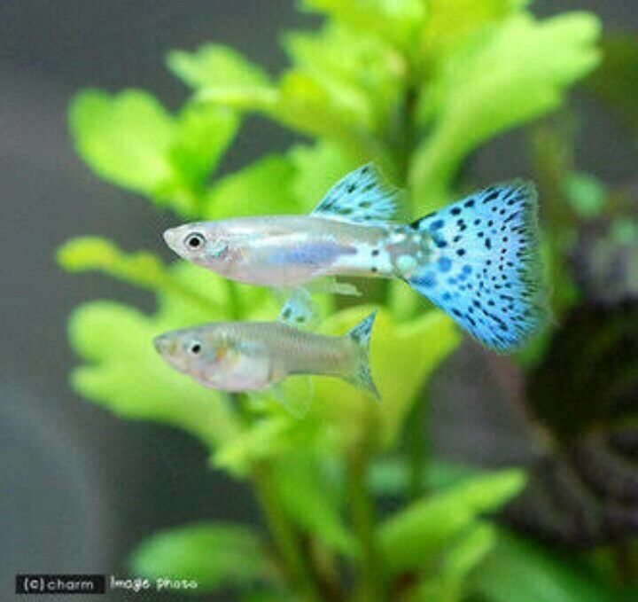 Blue Grass Guppy Fish, Tropical fish aquarium, Fish tank