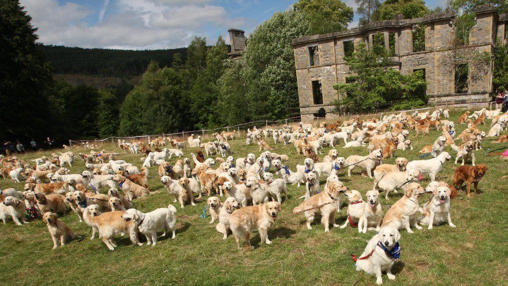 Mass Gathering Of Golden Retrievers In Highlands Bulldog Breeds