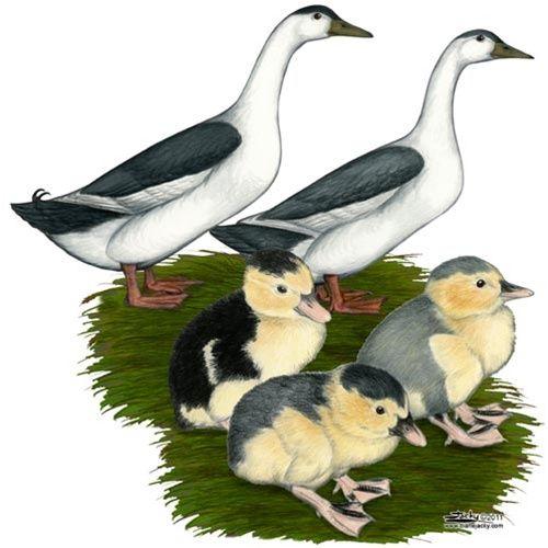 Blue Magpies Ducks-NEXT!!!