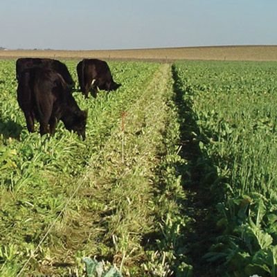 Brassica Cover Crops Pacer Forage Turnip Cover Crop Garden Seeds Sustainable Agriculture Turnip