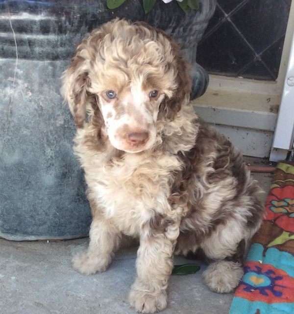 Puppies For Sale Poodle Puppy Standard Poodle Puppies For Sale
